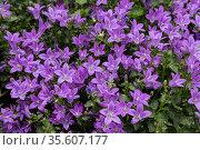 Bush blooming bluebells garganica filigree. Стоковое фото, фотограф Наталья Волкова / Фотобанк Лори