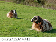 Jacob sheep (Ovis aries) two rams of this ancient British breed resting on pastureland, Wiltshire, UK, March. Стоковое фото, фотограф Nick Upton / Nature Picture Library / Фотобанк Лори