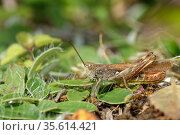 Common field grasshopper (Chorthippus brunneus) adult male sunning on a chalk grassland slope, Bath and Northeast Somerset, UK, July. Стоковое фото, фотограф Nick Upton / Nature Picture Library / Фотобанк Лори