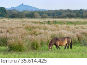 Exmoor pony (Equus caballus) grazing marshy pastureland with Glastonbury Tor in the background, Catcott Lows National Nature Reserve, Somerset, UK, September. Стоковое фото, фотограф Nick Upton / Nature Picture Library / Фотобанк Лори