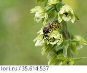 Saxon wasp (Dolichovespula saxonica) visiting Broad-leaved helleborine (Epipactis helleborine) flowers on a woodland margin, Bath and Northeast Somerset... Стоковое фото, фотограф Nick Upton / Nature Picture Library / Фотобанк Лори