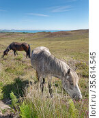 Welsh ponies (Equus caballus) grazing Godlingston Heath with the English Channel in the background, Devon, UK, July. Стоковое фото, фотограф Nick Upton / Nature Picture Library / Фотобанк Лори