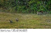 Wildcat (Felis sylvestris) group of three, Asturias, Spain, September. Стоковое фото, фотограф Loic Poidevin / Nature Picture Library / Фотобанк Лори