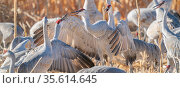 Sandhill cranes (Grus canadensis) flock with territorial fighting. Bosque del Apache National Wildlife Refuge, New Mexico, USA. December. Стоковое фото, фотограф Jack Dykinga / Nature Picture Library / Фотобанк Лори