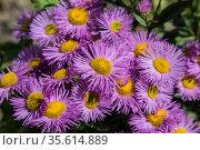 Flowering shrubby pink aster close-up. Стоковое фото, фотограф Наталья Волкова / Фотобанк Лори