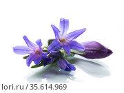 early spring purple flowers crocuses on white background. Стоковое фото, фотограф Peredniankina / Фотобанк Лори