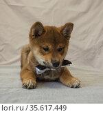 Shiba inu puppy in a bow tie. Стоковое фото, фотограф Михаил Панфилов / Фотобанк Лори