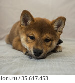 Shiba inu puppy of sesame color. Стоковое фото, фотограф Михаил Панфилов / Фотобанк Лори