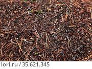 Крыша муравейника. Мир насекомых. Стоковое фото, фотограф Анатолий Матвейчук / Фотобанк Лори
