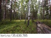 Грязная дорога в березовом лесу. Стоковое фото, фотограф Анатолий Матвейчук / Фотобанк Лори