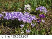 First spring flowers. Crocus vernus (Spring Crocus, Giant Crocus) in April. Стоковое фото, фотограф Валерия Попова / Фотобанк Лори