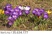 Field of first spring flowers. Crocus vernus (Spring Crocus, Giant Crocus) in April. Стоковое фото, фотограф Валерия Попова / Фотобанк Лори