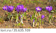 First spring flowers. Lilac Crocus vernus (Spring Crocus, Giant Crocus) in April. Стоковое фото, фотограф Валерия Попова / Фотобанк Лори