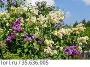 Blooming yellow lilac Primrose Syringa vulgaris. Стоковое фото, фотограф Ольга Сейфутдинова / Фотобанк Лори