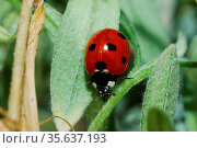Kleiner rot schwarzer marienkaefer auf einem blatt im fruehling. Стоковое фото, фотограф Zoonar.com/thomas eder / age Fotostock / Фотобанк Лори