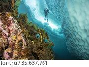 (Saccharina latissima), laminaria, a genus of 31 species of brown... Стоковое фото, фотограф Franco Banfi / age Fotostock / Фотобанк Лори