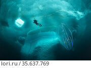 (Mnemiopsis leidyi), the warty comb jelly or sea walnut. Only in ... Стоковое фото, фотограф Franco Banfi / age Fotostock / Фотобанк Лори