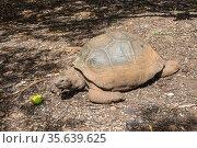 Giant turtle (Dipsochelys gigantea) in tropical park in Mauritius... Стоковое фото, фотограф Valeriy Tretyakov / easy Fotostock / Фотобанк Лори