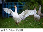 Domestic village goose flaps its wings White goose. Стоковое фото, фотограф Zoonar.com/Svetlana / easy Fotostock / Фотобанк Лори