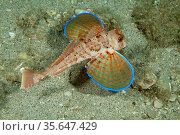Tub gurnard (Chelidonichthys lucerna) Puolo Bay, Punta Campanella Marine Protected Area, Amalfi Coast, Italy, Tyrrhenian Sea, Mediterranean. Стоковое фото, фотограф Franco Banfi / Nature Picture Library / Фотобанк Лори