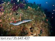 Conger eel (Conger conger) Punta Carena, Capri Island, Sorrento Peninsula, Amalfi Coast, Italy, Tyrrhenian Sea, Mediterranean. Стоковое фото, фотограф Franco Banfi / Nature Picture Library / Фотобанк Лори