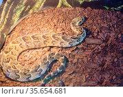 Змея Шумящая гадюка. African Puff Adder. Стоковое фото, фотограф Галина Савина / Фотобанк Лори