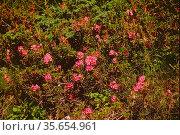Hairy Alpenrose, Rhododendron hirsutum, Ericaceae, inflorescence, ... Стоковое фото, фотограф R. Kunz / age Fotostock / Фотобанк Лори