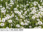 A clearing with faded dandelions on a summer day. Стоковое фото, фотограф Наталья Волкова / Фотобанк Лори
