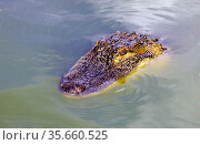 Head of  predatory reptile crocodile on the surface of the water. Стоковое фото, фотограф Олег Елагин / Фотобанк Лори