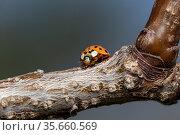 Orange ladybug on apricot tree branch close up. Стоковое фото, фотограф ok_fotoday / Фотобанк Лори