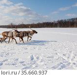 Northen deers running on snow field. Стоковое фото, фотограф ИВА Афонская / Фотобанк Лори