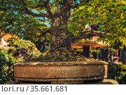 Beautiful old bonsai in outdor. Стоковое фото, фотограф Zoonar.com/Jozef Klopacka / easy Fotostock / Фотобанк Лори