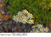 Flora of Gran Canaria - Tanacetum ferulaceum, fennel-leaved tansy endemic to the island, natural macro floral background. Стоковое фото, фотограф Tamara Kulikova / Фотобанк Лори