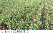 Plantation of organically grown garlic on a vegetable farm. Стоковое видео, видеограф Яков Филимонов / Фотобанк Лори