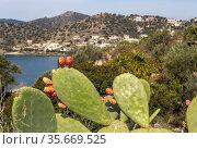 Cactus fruits (Opuntia) grow close-up. Стоковое фото, фотограф Татьяна Ляпи / Фотобанк Лори