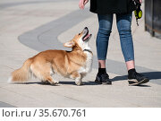 The Woman walking Welsh Corgi cardigan dog. Стоковое фото, фотограф Володина Ольга / Фотобанк Лори
