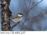 Europe, Scandinavia, Norway, Varanger Fjord, Vadso, Grey-headed chickadee... Стоковое фото, фотограф Morales / age Fotostock / Фотобанк Лори