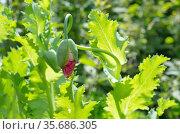 Нераспустившийся бутон розового мака на клумбе в летнем саду. Стоковое фото, фотограф Елена Коромыслова / Фотобанк Лори