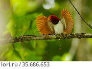 King bird of paradise (Cicinnurus regius) male performing open wings display, Papua New Guinea. Стоковое фото, фотограф Tim Laman / Nature Picture Library / Фотобанк Лори