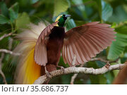 Greater Bird of Paradise (Paradisaea apoda) male performing upright wing pose display at lek,  Badigaki Forest, Wokam Island in the Aru Islands, Indonesia. Стоковое фото, фотограф Tim Laman / Nature Picture Library / Фотобанк Лори