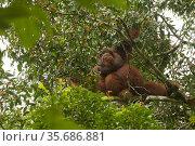 Bornean orangutan (Pongo pygmaeus) male feeding on the figs of a strangler fig tree (Ficus stricta) in lowland rain forest, Gunung Palung National Park, Borneo. Стоковое фото, фотограф Tim  Laman / Nature Picture Library / Фотобанк Лори