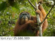 Tapanuli orangutan (Pongo tapanuliensis) Togus, adult flanged male, Batang Toru Forest. Sumatran Orangutan Conservation Project, North Sumatran Province, Indonesia. Стоковое фото, фотограф Tim  Laman / Nature Picture Library / Фотобанк Лори