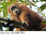 Tapanuli orangutan (Pongo tapanuliensis) Beta, adult female, mother of Beti, Batang Toru Forest Sumatran Orangutan Conservation Project,  North Sumatran Province, Indonesia. Стоковое фото, фотограф Tim  Laman / Nature Picture Library / Фотобанк Лори