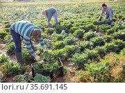 Hispanic farmer harvesting savoy cabbage on farm field. Стоковое фото, фотограф Яков Филимонов / Фотобанк Лори