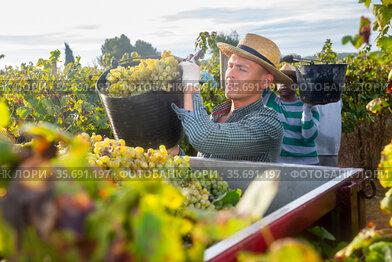 Man picking ripe grapes in truck during harvest in vineyard