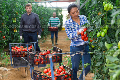 Colombian woman farmer harvesting red tomatoes in greenhouse