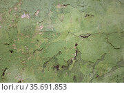 Dirty texture of plaster and green paint, shabby aged surface, remnants of peeling cracked stucco, grunge uneven wall. Стоковое фото, фотограф Андрей Копылов / Фотобанк Лори