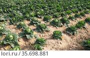 Growing white cabbage in rows in a farm field on a spring sunny day. Стоковое видео, видеограф Яков Филимонов / Фотобанк Лори