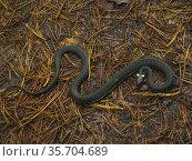 Grass snake. Стоковое фото, фотограф Piotr Ciesla / age Fotostock / Фотобанк Лори