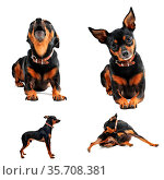 Composite picture with purebred miniature pinscher on a white background. Стоковое фото, фотограф Zoonar.com/emmanuelle bonzami / age Fotostock / Фотобанк Лори